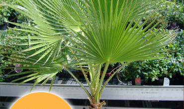 Washingtonia-Palme 49 €