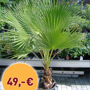 Palme-Washingtonia--8-celius-49€